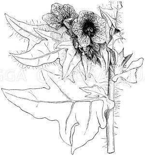Bilsenkraut Zeichnung/Illustration