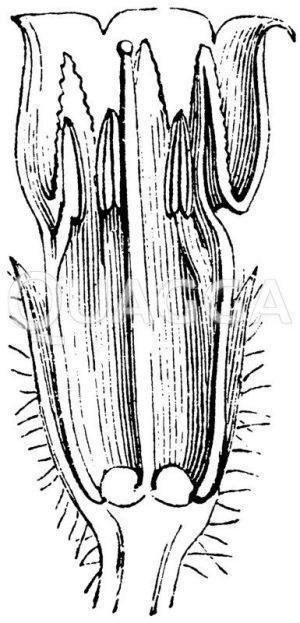 Längsschnitt der Blüte des Beinwells Zeichnung/Illustration