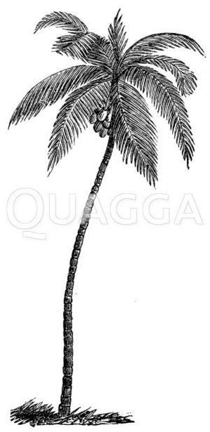 Kokospalme Zeichnung/Illustration