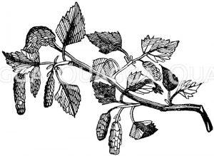 Weiße Birke: Zweig Zeichnung/Illustration