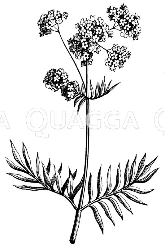 Baldrian Zeichnung/Illustration