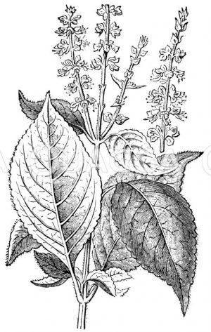 Tee-Basilienkraut