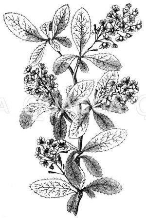 Berberidaceae - Sauerdorn- oder Berberitzengewächse