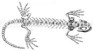 Feuersalamander: Skelett Zeichnung/Illustration
