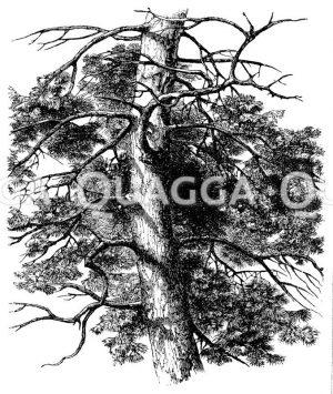 Asbildung der Kiefer Zeichnung/Illustration