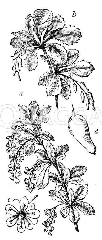 Berberitze Zeichnung/Illustration
