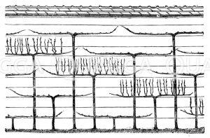Weinmauer à la Thomery Zeichnung/Illustration