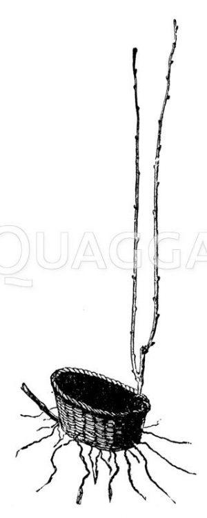 Weinrebe: Vermehrung durch Ableger mit Hilfe von einem Korb Zeichnung/Illustration