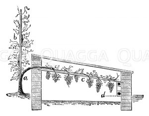 Weinanbau in einem Mistbeetkasten Zeichnung/Illustration