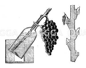 Weintreiberei. Konservieren von Trauben. Zeichnung/Illustration