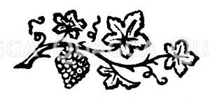 Vignette: Weinrebe Zeichnung/Illustration