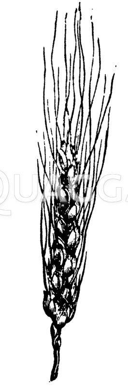 Weizen Zeichnung/Illustration