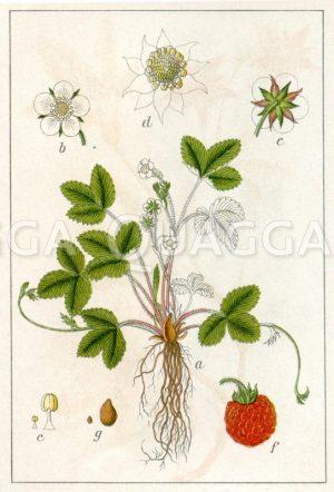 Wald-Erdbeere Zeichnung/Illustration