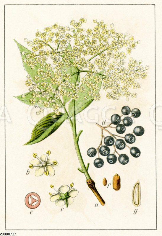 Adoxaceae - Moschuskrautgewächse