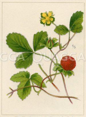 Erdbeer-Duchesnea
