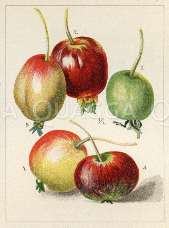 Pflaumenblättriger Apfel