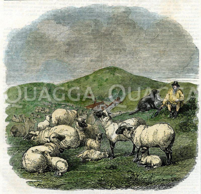 Schafe und Hirte Zeichnung/Illustration
