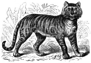 Tiger Zeichnung/Illustration