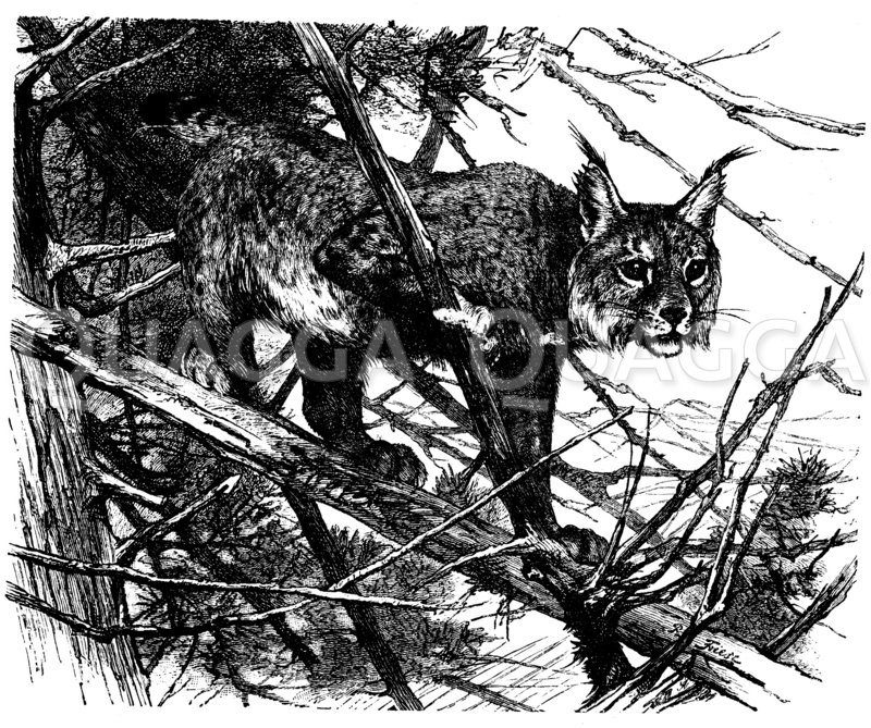 Luchs Zeichnung/Illustration