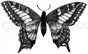 Schwalbenschwanz Zeichnung/Illustration