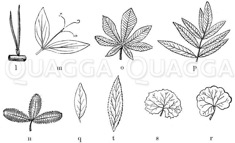 Blattformen Zeichnung/Illustration