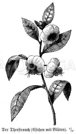 Teestrauch Zeichnung/Illustration