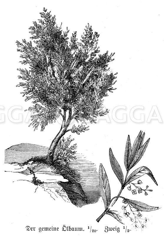 Ölbaum Zeichnung/Illustration