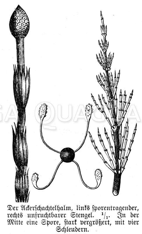 Ackerschachtelhalm Zeichnung/Illustration