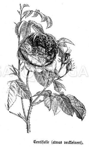 Zentifolie Zeichnung/Illustration