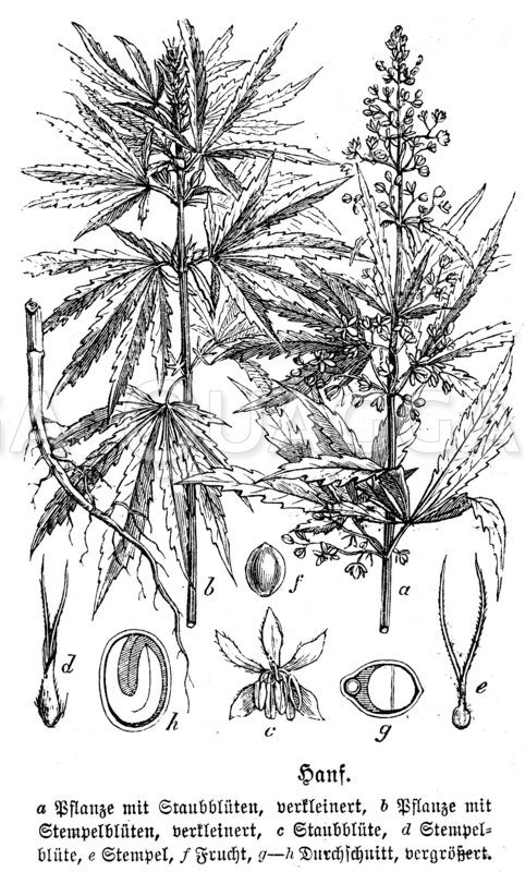 Cannabaceae - Hanfgewächse Archives