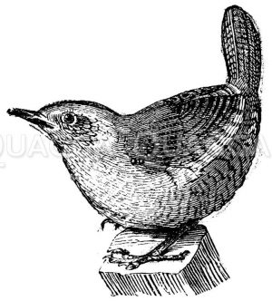 Zaunkönige - Troglodytidae