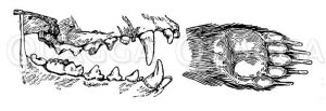 Dachs: Gebiss und Vorderfuß Zeichnung/Illustration