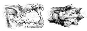 Fischotter: Gebiss und Fuß Zeichnung/Illustration