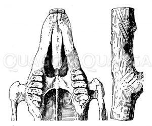Hase: Gebiss und Nagespuren Zeichnung/Illustration