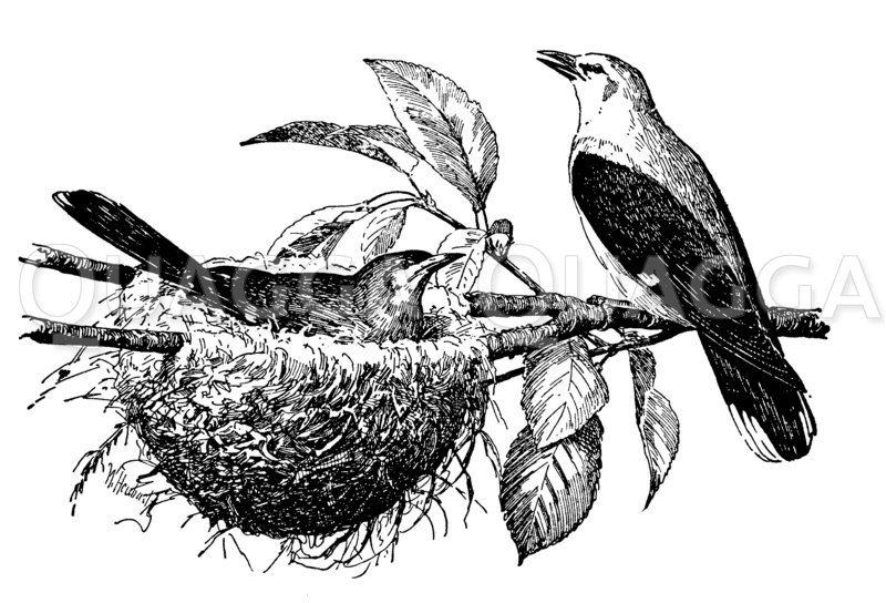 Pirole am Nest Zeichnung/Illustration