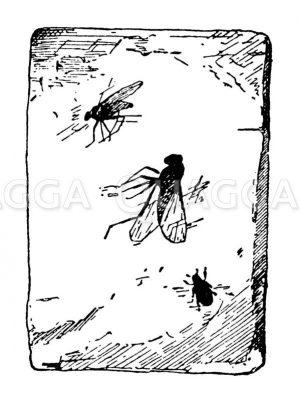 Bernstein mit drei eingeschlossenen Insekten (Inklusen) Zeichnung/Illustration