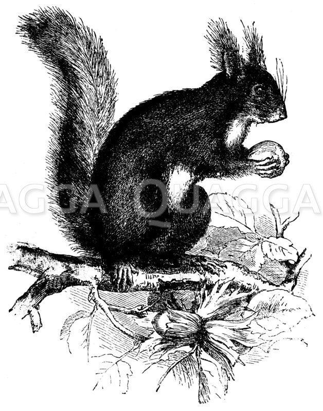 Eichhörnchen Zeichnung/Illustration