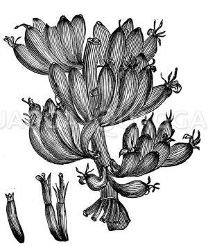 Paradiesfeigenbaum