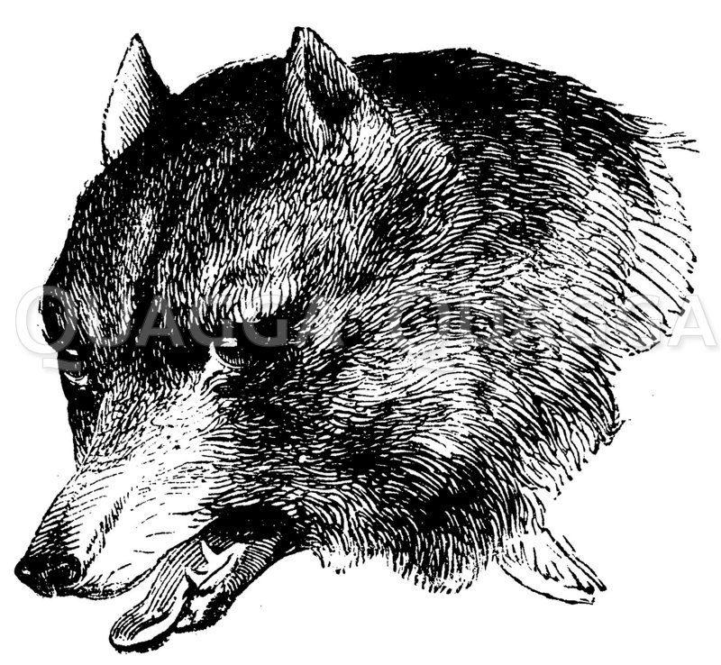 Wolf: Porträt Zeichnung/Illustration