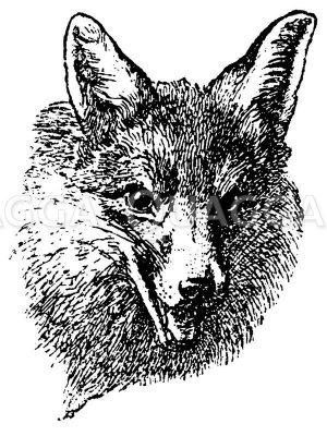 Fuchs: Porträt Zeichnung/Illustration