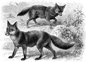 Fuchs (unten)
