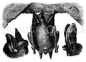 Gemeine Fledermaus. Langohrige Fledermaus Zeichnung/Illustration