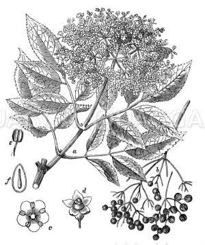 Holunder: Blütenzweig. b Fruchstand