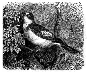 Grauer Fliegenschnäpper Zeichnung/Illustration