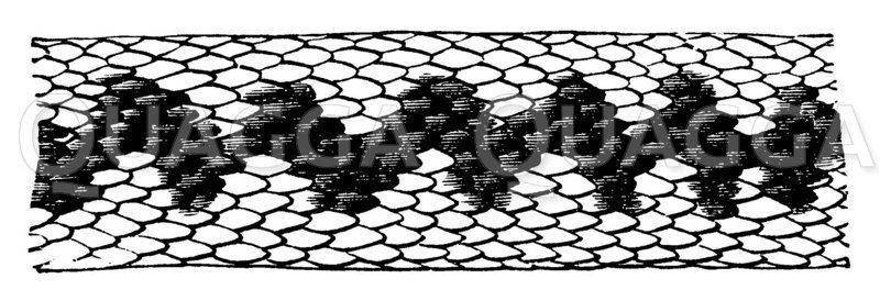 Rückenzeichnung der Kreuzotter Zeichnung/Illustration