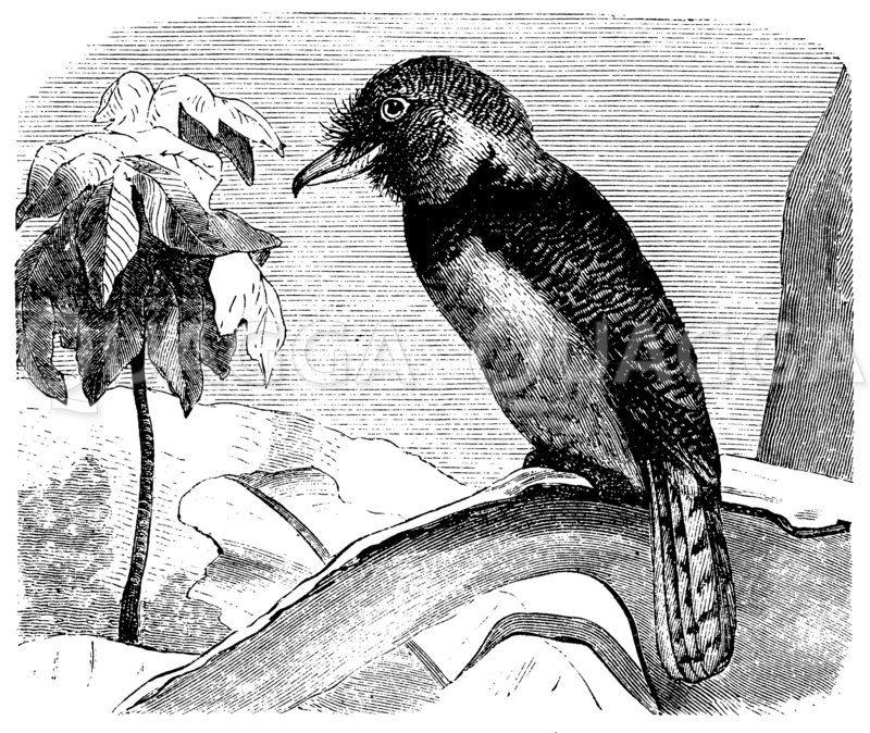 Bartvogel Zeichnung/Illustration
