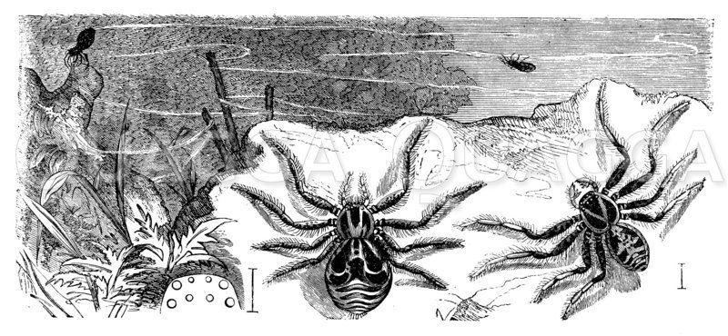 Krabbenspinne. Im Hintergrund fadenschießend und davonfliegend