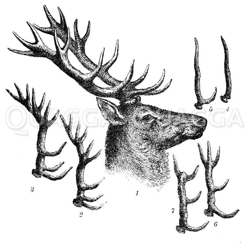 Kopf und Geweih des Hirsches in späteren Jahren. Kopf des Sechzehnenders. 2 Geweih des Achtzehnenders. 3 des Zwanzigenders. 4 Verkümmerung des Geweihs. Fehlende Augen- und Mittelsprosse. 5 fehlende Eis- und Mittelsprosse. 6 fehlende Eissprosse beim Zwö Zeichnung/Illustration