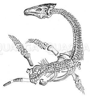 Plesiosaurus Lymeregis: Skelett Zeichnung/Illustration
