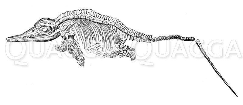 Ichthyosaurus communis: Skelett Zeichnung/Illustration